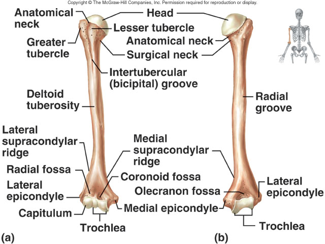 Humerus Aarons Anatomy Website