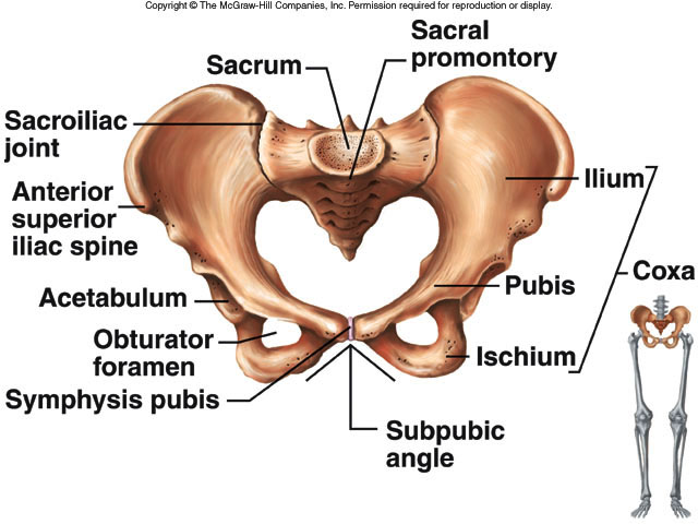 Pelvic Girdle Aarons Anatomy Website